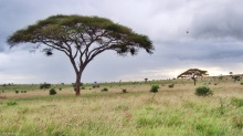 Umbrella tree in Tsavo West